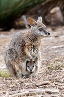 Tammar wallaby wildlife, Australia Fine Art Print