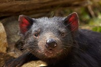 Tasmanian Devil wildlife, Southern Tasmania, Australia by David Wall - various sizes