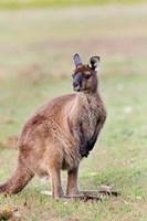 Western grey kangaroo, Australia Fine Art Print