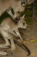 Eastern Grey Kangaroo with baby, Queensland AUSTRALIA Fine Art Print