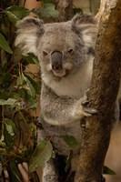 Koala bear, Lone Pine Koala Sanctuary, AUSTRALIA Fine Art Print