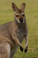 Pretty-faced Wallaby wildlife, AUSTRALIA Fine Art Print