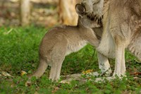 Australia, Queensland, Eastern Grey Kangaroo and joey Fine Art Print