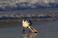 Australian pelican bird, Stradbroke Island, Australia Fine Art Print