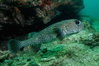 Black-spotted Porcupinefish, North Stradbroke, Australia by Pete Oxford - various sizes, FulcrumGallery.com brand