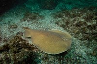 Electric Ray, Stradbroke Island, Queensland, Australia by Pete Oxford - various sizes