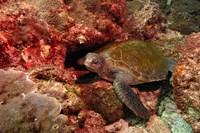 Green turtle, Stradbroke Island, Queensland, Australia Fine Art Print