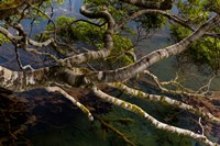 New Zealand, Silver Beech tree branches by Jaynes Gallery - various sizes, FulcrumGallery.com brand