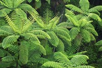 Ferns, AH Reed Memorial Kauri Park, Whangarei, Northland by David Wall - various sizes - $32.49