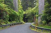 Road between Kauri Trees, Waipoua Kauri Forest, Northland, New Zealand by David Wall - various sizes