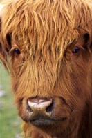 Scottish Cow, Deer Park Heights, Queenstown, South island, New Zealand by David Wall - various sizes
