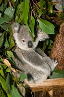 Australia, Brisbane, Fig Tree Pocket, Koala Bears Fine Art Print