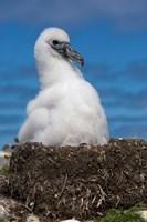 Australia, Tasmania, Bass Strait Albatross chick Fine Art Print