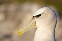 Australia, Tasmania, Bass Strait, Albatross bird head Fine Art Print
