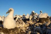 Shy Albatross chick and colony, Bass Strait, Tasmania, Australia Fine Art Print