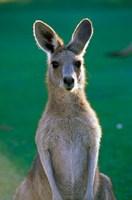 Australia, Yamba Golf Course, Eastern Grey Kangaroo Fine Art Print