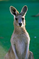 Australia, Yamba Golf Course, Eastern Grey Kangaroo Fine Art Print