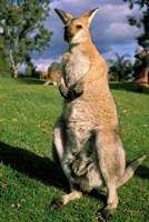 Kangaroo, Queensland, Australia Fine Art Print