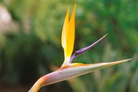 Australia, Queensland, Bird of paradise flower garden Fine Art Print
