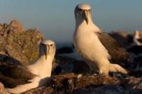 Australia, Tasmania, Bass Strait Albatross pair Fine Art Print