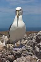 Australia, Tasmania, Bass Strait Shy albatross Fine Art Print