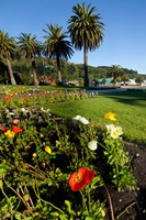 Poppy flowers, Picton, Marlborough, South Island, New Zealand Fine Art Print