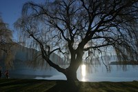 Willow Tree, Lake Wanaka, Wanaka, South Island, New Zealand Fine Art Print