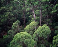 Eucalyptus Forest, Walpole-Nornalup NP, Western Australia, Australia by Walter Bibikow - various sizes, FulcrumGallery.com brand
