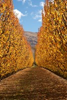 Autumn, Orchard, Roxburgh, South Island, New Zealand by David Wall - various sizes
