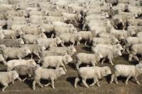 Mustering Sheep, Farm Animals, South Island, New Zealand by David Wall - various sizes
