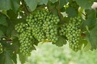 Pinot Noir Grapes, Domain Road Vineyard, Bannockburn, Central Otago, South Island, New Zealand by David Wall - various sizes
