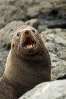 Fur Seal, Kaikoura Coast, South Island, New Zealand by David Wall - various sizes