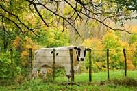 Cow and Farmland, Taoroa Junction, Rangitikei, North Island, New Zealand by David Wall - various sizes