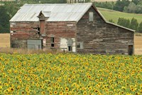 Sunflowers and Old Barn, near Oamaru, North Otago, South Island, New Zealand Fine Art Print