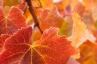 Vine leaves, Domain Road Vineyard, South Island, New Zealand by David Wall - various sizes