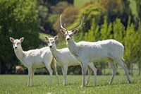 White Fallow Deer, near Queenstown, Otago, South Island, New Zealand by David Wall - various sizes
