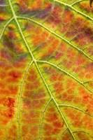 Autumn, Domain Road Vineyard, South Island, New Zealand by David Wall - various sizes