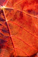 Autumn leaf, Domain Road Vineyard, South Island, New Zealand by David Wall - various sizes - $41.99