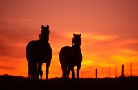 Horses at Sunset near Ranfurly, Maniototo, Central Otago by David Wall - various sizes