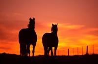 Horses at Sunset near Ranfurly, Maniototo, Central Otago by David Wall - various sizes - $43.99