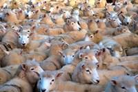 Mob of Sheep in Yard by David Wall - various sizes