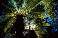 Tree Ferns, Catlins, South Island, New Zealand by David Wall - various sizes