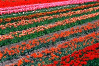 Tulip Fields, Tapanui, Southland, New Zealand by David Wall - various sizes