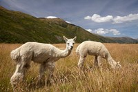 Alpacas by Gibbston River Trail, Gibbston Valley, Southern Lakes District, South Island, New Zealand by David Wall - various sizes