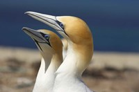 Australasian Gannet tropical bird, Hawkes Bay New Zealand by David Wall - various sizes