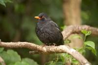 Blackbird, Karori Wildlife, North Island, New Zealand by David Wall - various sizes