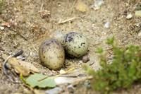 Black-Fronted Tern eggs, South Island, New Zealand Fine Art Print