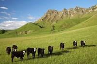 Cows and farmland below Te Mata Peak, Hawkes Bay, North Island, New Zealand by David Wall - various sizes