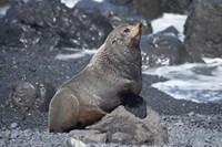 Fur Seal, Ngawi, Wairarapa, North Island, New Zealand by David Wall - various sizes, FulcrumGallery.com brand
