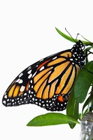 Monarch Butterfly by David Wall - various sizes